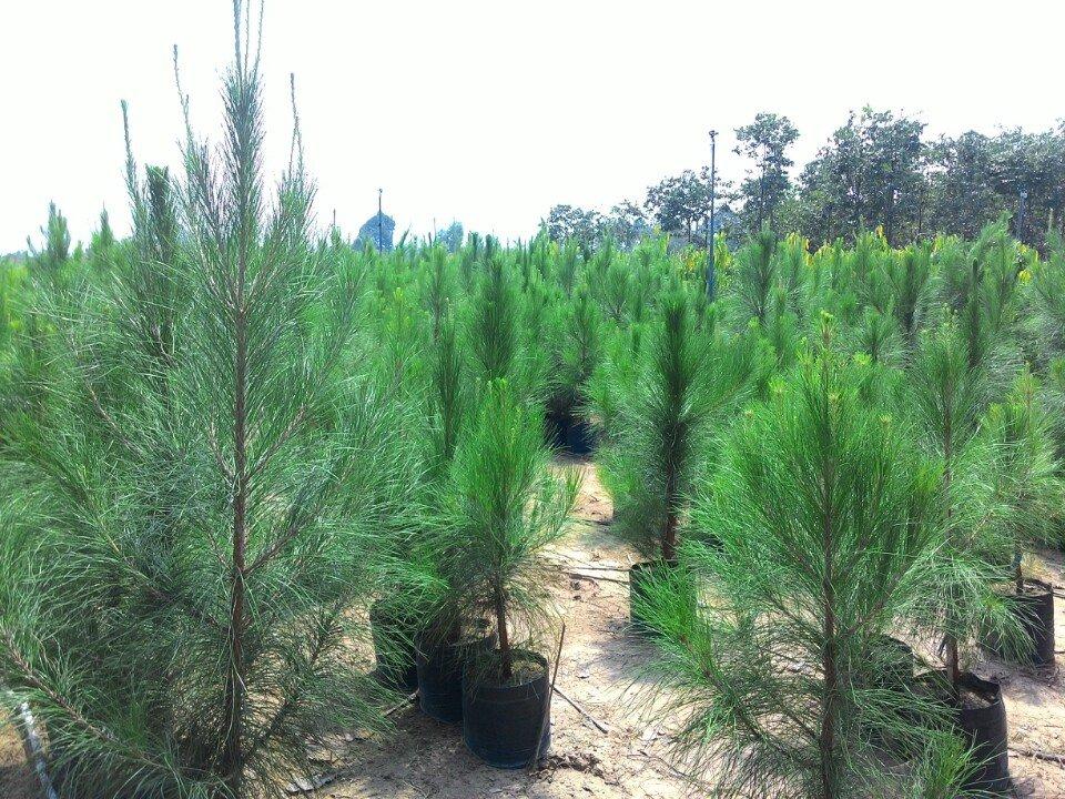 Cây Thông Caribe: Cây lá kim trồng trong nhà