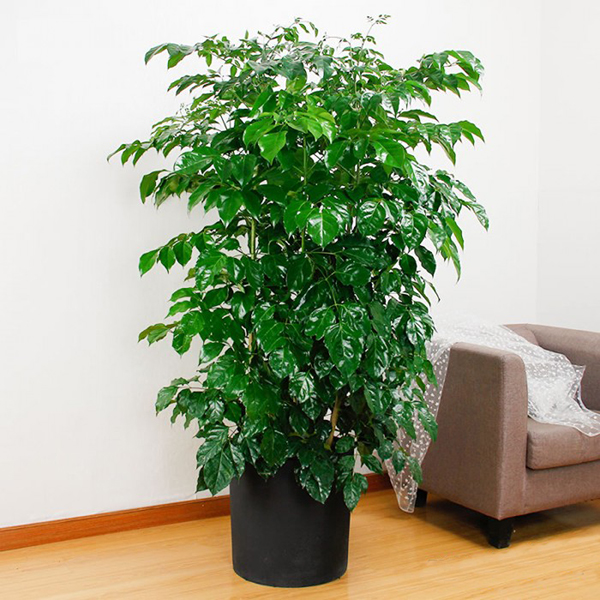 Đặc điểm và ý nghĩa của cây hạnh phúc không phải ai cũng biết - Cây xanh  Quảng Ninh
